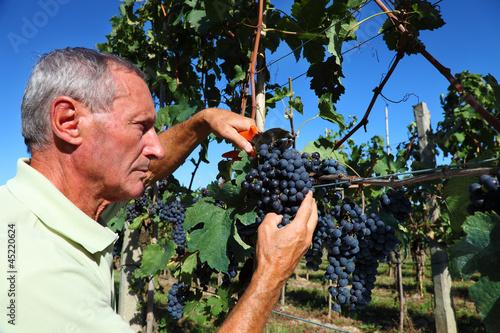 Senior winemaker cuts grape