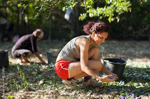 Family at plum harvest