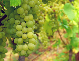 Weißwein Trauben - White Wine Grapes