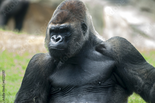 gorila en reposo