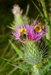 bumblebees on thistle, vertical macro