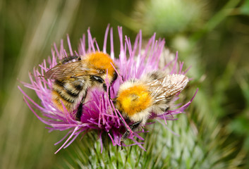 bumblebees on thistles, late summer