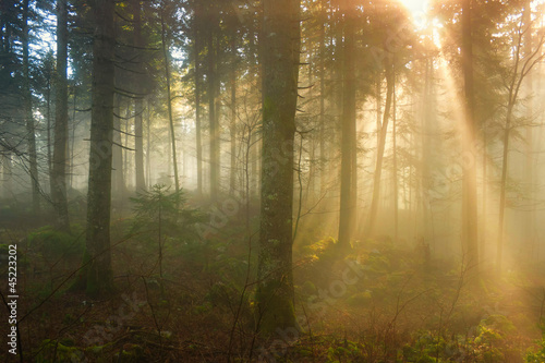 Autumn morning in the foggy forest