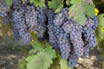 Red Wine Grape Clusters