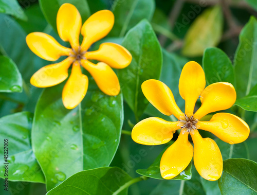 golden gardenia flowers