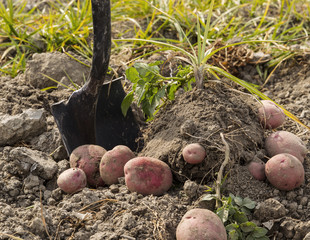 Fresh Red Potatoes on Ground