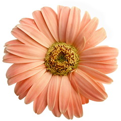 Isolated Salmon Pink Gerbera Daisy
