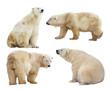polar bears. Isolated over white