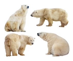 polar bears. Isolated over white