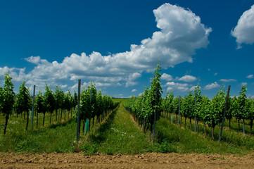 A vineyard, South Moravia, Czech Republic.