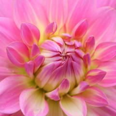 Rosa Chrysantheme Makro