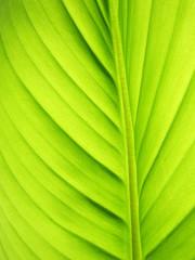 grünes Bananen Blatt Linien, Bananenblatt 34, kleine Schärfentie