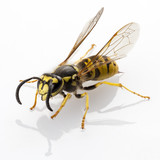 Fototapety wasp isolated