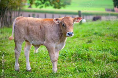 pretty calf standing alone