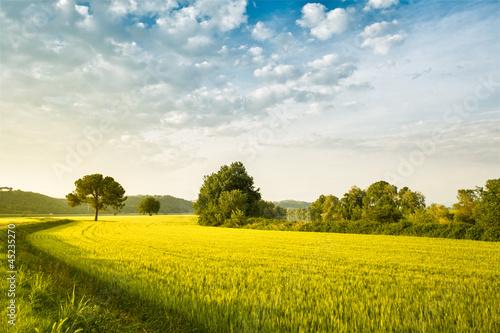 ear of corn field