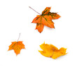 Three yellow autumn maple leaves on white background
