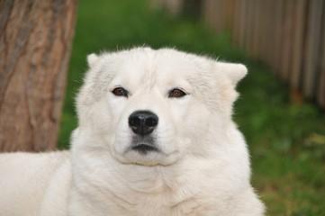 Weiser Siberian Husky