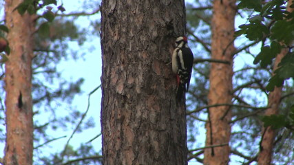 The bird, woodpecker, sits on a tree