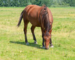 Brown horse grazing alone