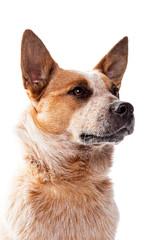 Red Heeler - Australien Cattle Dog