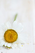 Chamomile flower on white wooden background