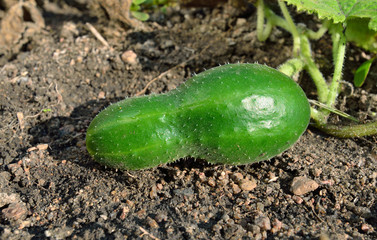 Cucumber on the garden-bed