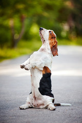 dog basset hound sitting on his hind legs