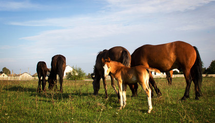 Foal and group of horses on green grass background