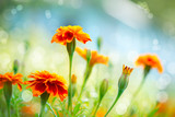 Fototapety Tagetes Marigold Flower. Autumn Flowers Background