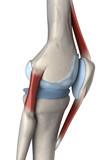 Right lateral knee anatomy