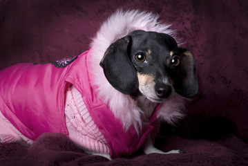 Dachshund in Pink Coat