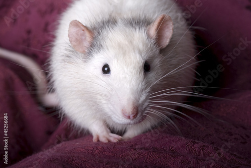 Gray and White Domestic Rat on Red
