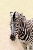 African wild animal zebra's face closeup showing distinctive str