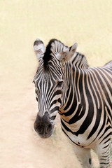 African wild animal zebra's face closeup showing distinctive str
