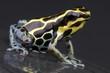 Amazon dart frog / Ranitomeya ventrimaculata