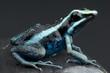 Poison frog / Amereega bassieri