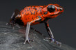 Strawberry frog / Oophaga pumilio