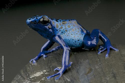 Foto op Plexiglas Kikker Azure dartfrog / Dendrobates azureus