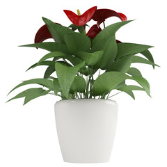 Red anthurium flowers