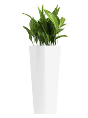 Aspidistra in triangular container