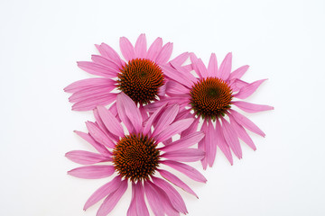 Pink coneflower head, isolated on white background