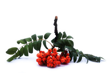 bunch of rowan on an isolated background