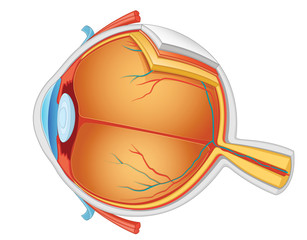 Eye anatomy vector illustration