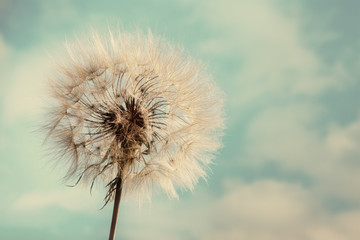 Dandelion Isolated on blue cloudscape © angelo lano