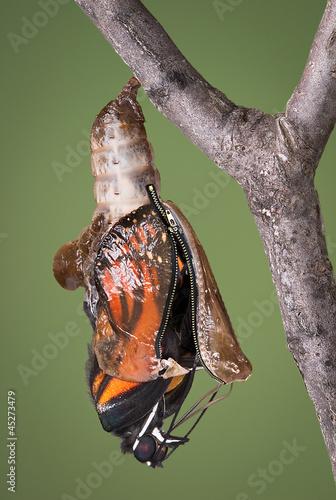 Deurstickers Vlinder zippered chrysalis