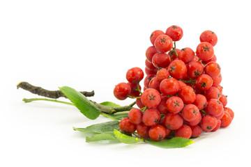 rowan, rowanberry, rowan-tree, sorb, wild ash, viburnum, guelder