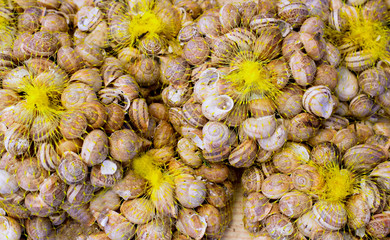 Mediterranean snails in yellow nets