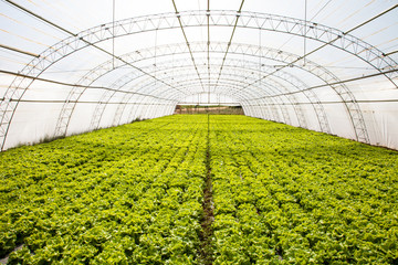 cultivo industrial de lechugas