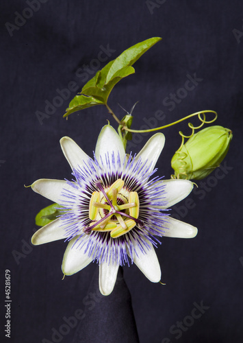 canvas print picture Granadilla Flower