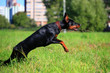 Beauty black doberman running on the meadow